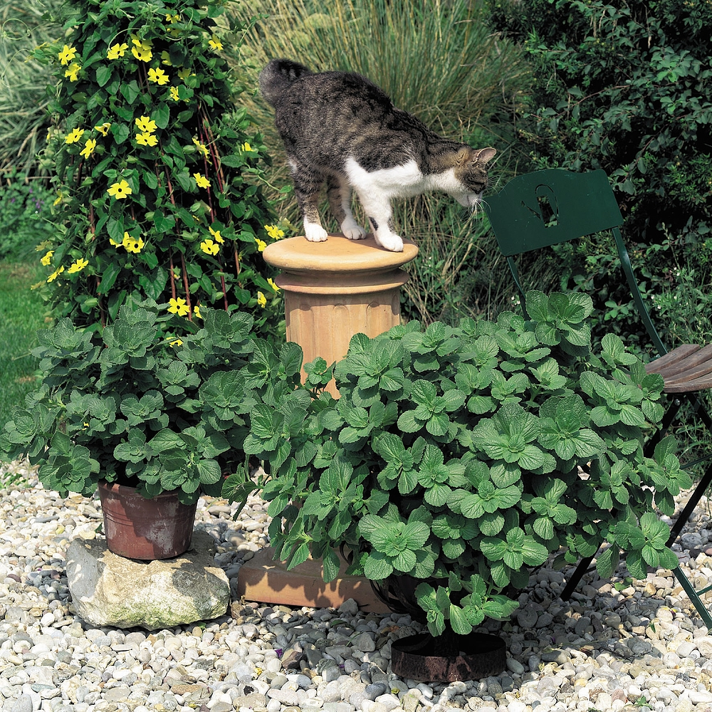 Scaredy Cat Plant Van Meuwen