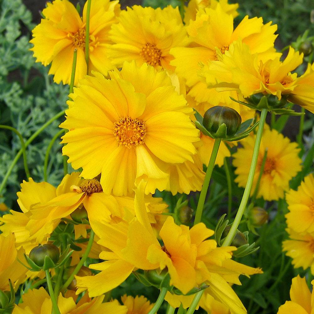 Coreopsis grandiflora 'Sunray' Van Meuwen