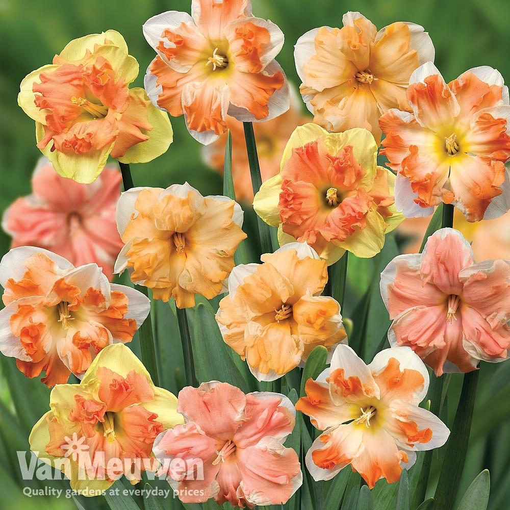 Daffodil 'Sunrise Butterflies' Van Meuwen