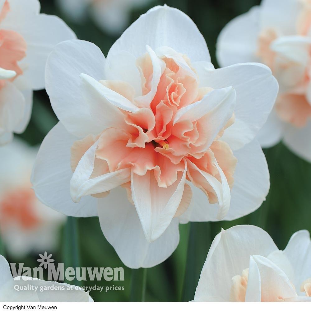 Daffodil 'Replete' Van Meuwen