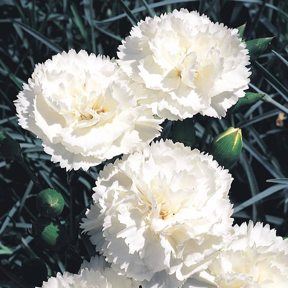 Dianthus 'Haytor White' Van Meuwen