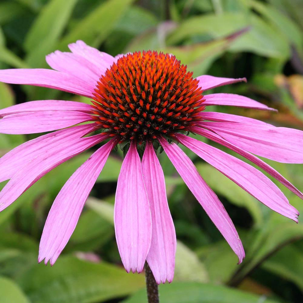 Echinacea purpurea 'Rubinstern' Van Meuwen