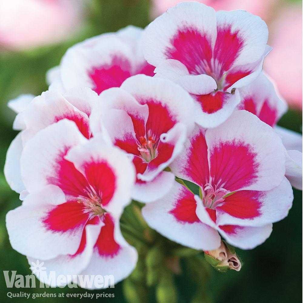 Geranium 'Flower Fairy White Splash' Van Meuwen