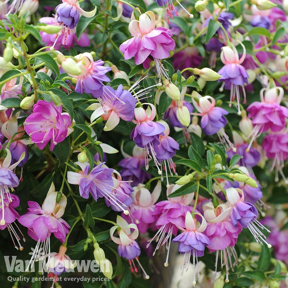 Fuchsia 'Fairy Blue' Van Meuwen