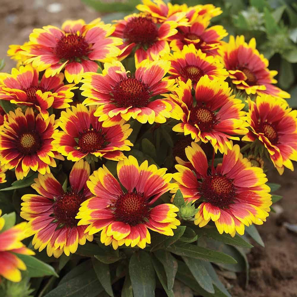 Gaillardia aristata 'Arizona Sun' Van Meuwen