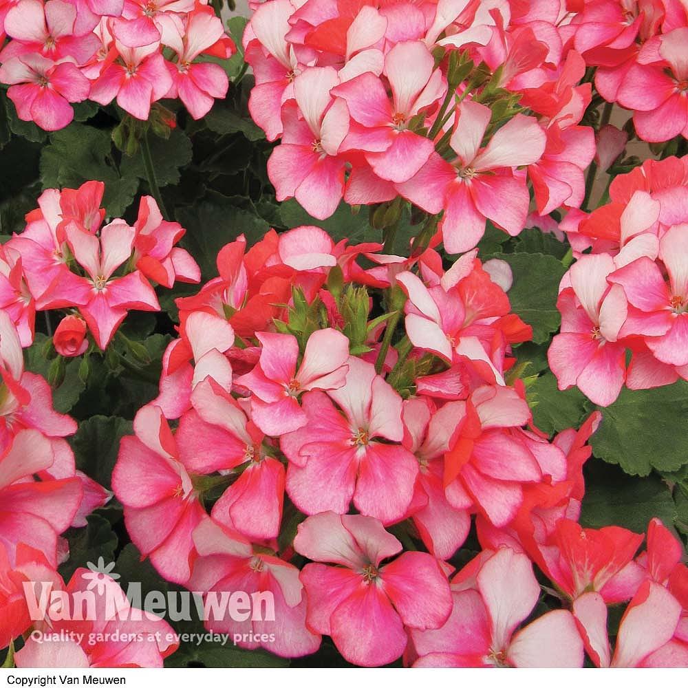 Geranium 'Bunny Pink Ice' Van Meuwen