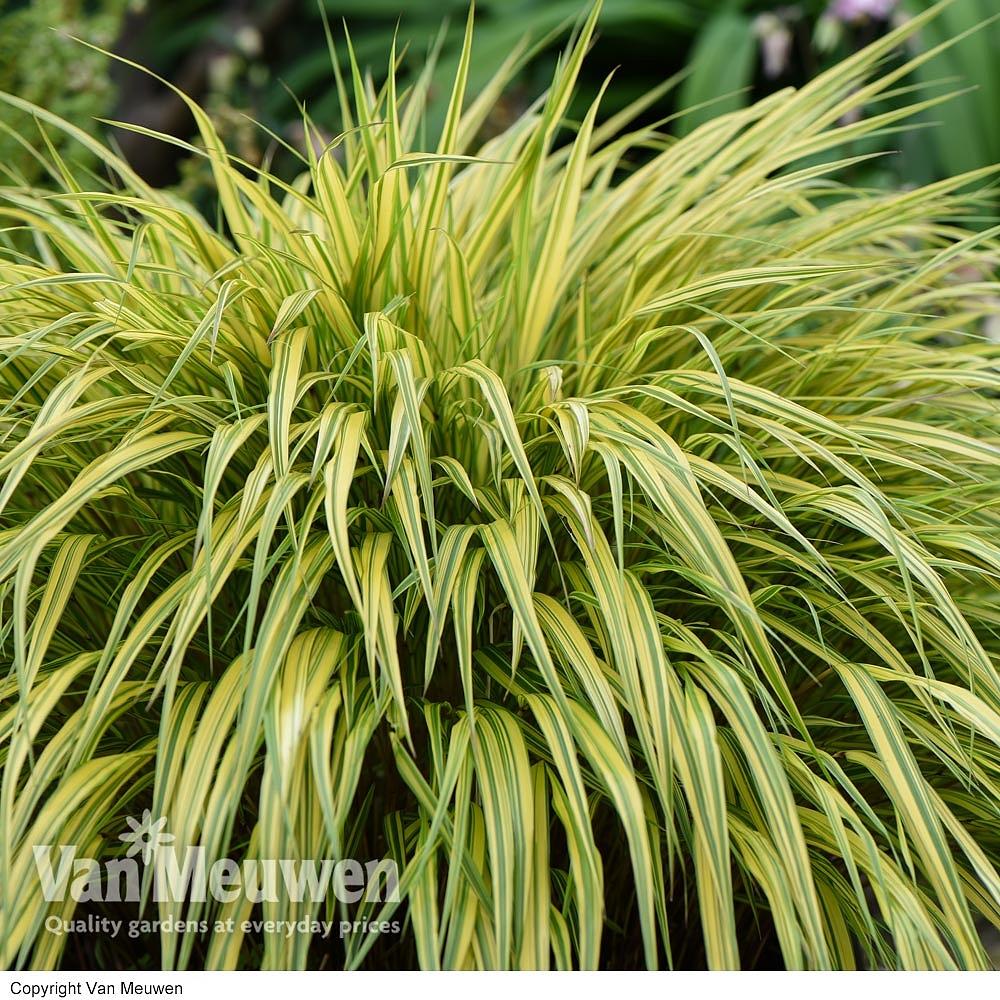 Hakonechloa macra 'Aureola' (Large Plant) Van Meuwen