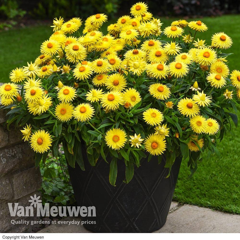 Helichrysum 'Cottage Lemon' Van Meuwen
