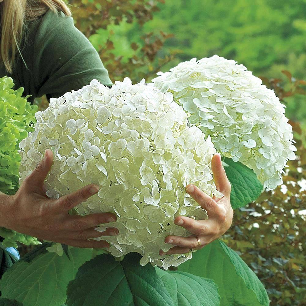 Hydrangea arborescens 'Incrediball' Van Meuwen