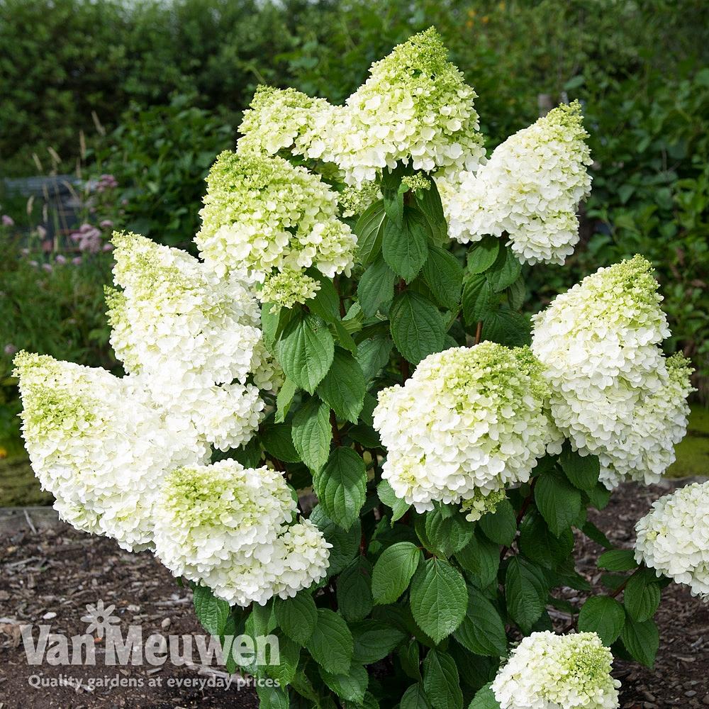 Hydrangea paniculata 'Magical Moonlight' Van Meuwen