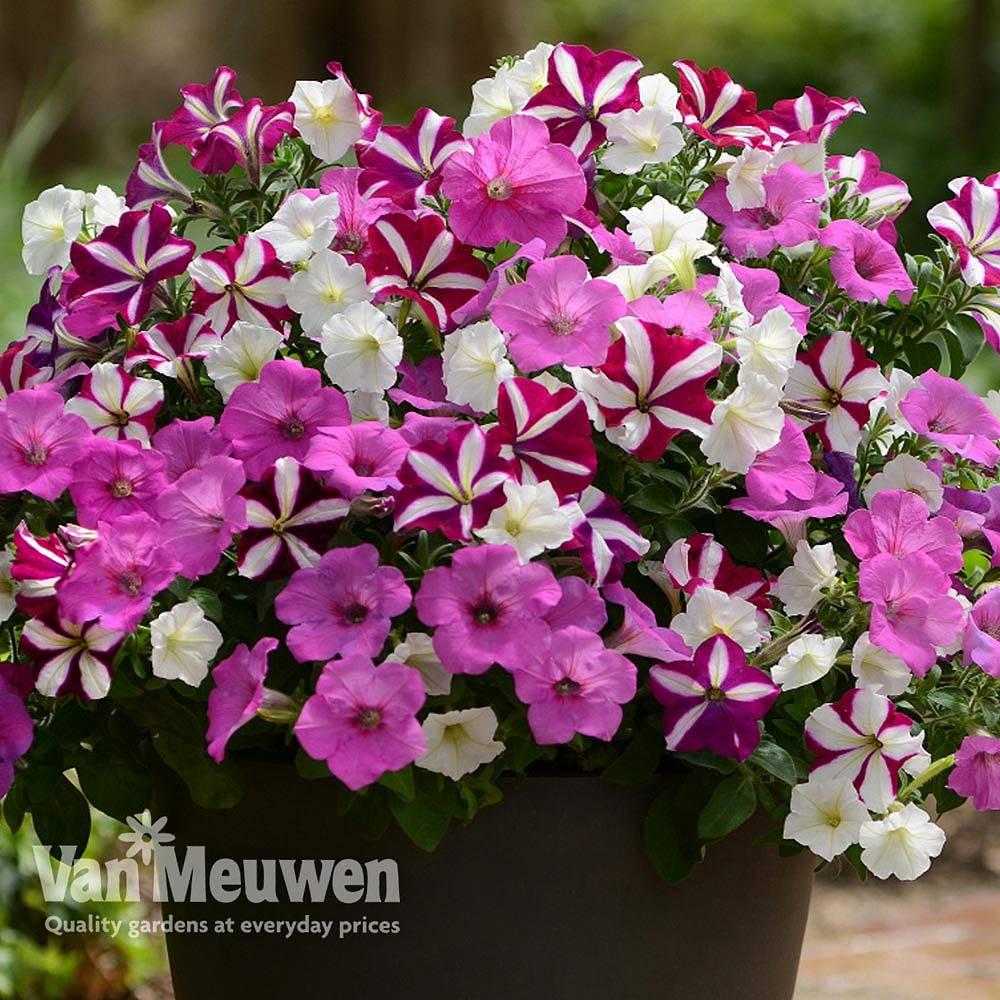 Petunia 'Wave Ooh La La' Van Meuwen