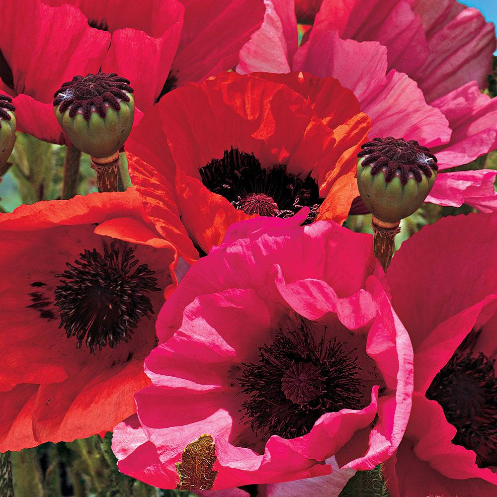 Poppy 'Oriental Collection' (Garden Ready) Van Meuwen