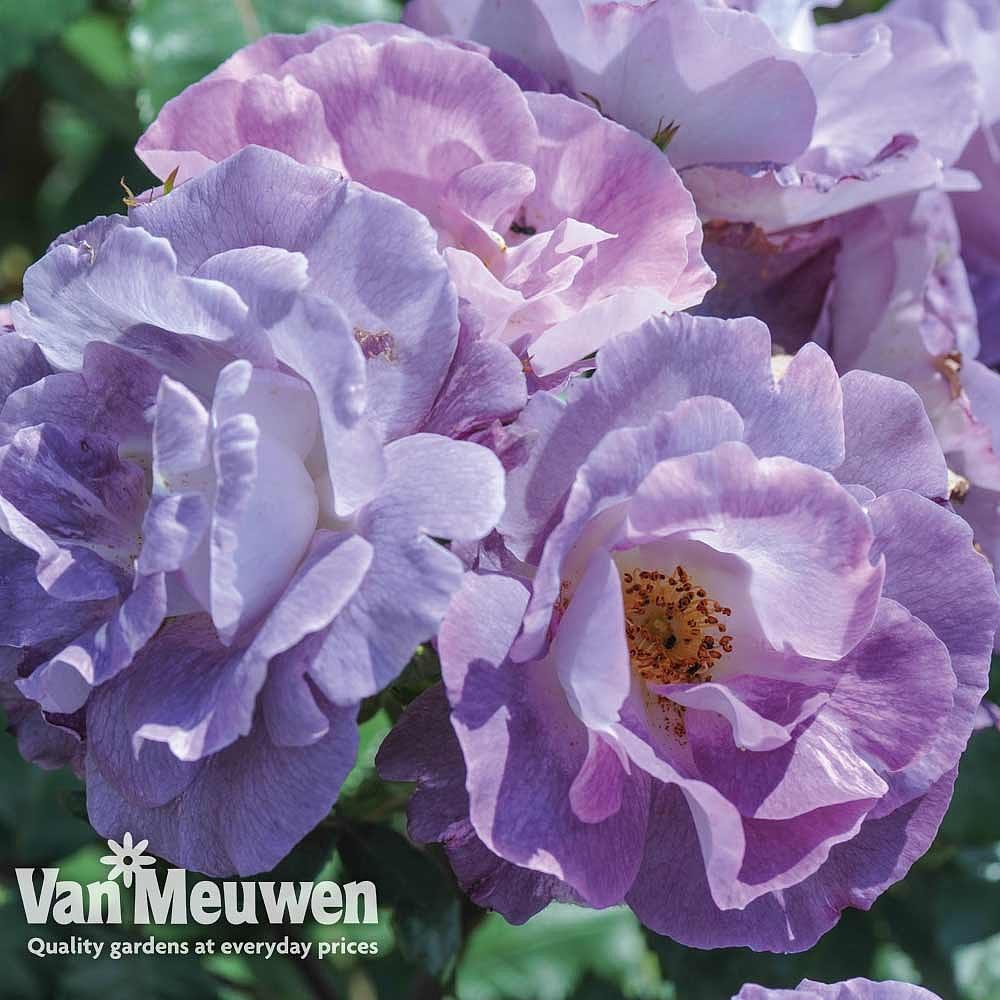 Rose 'Blue for You' Van Meuwen