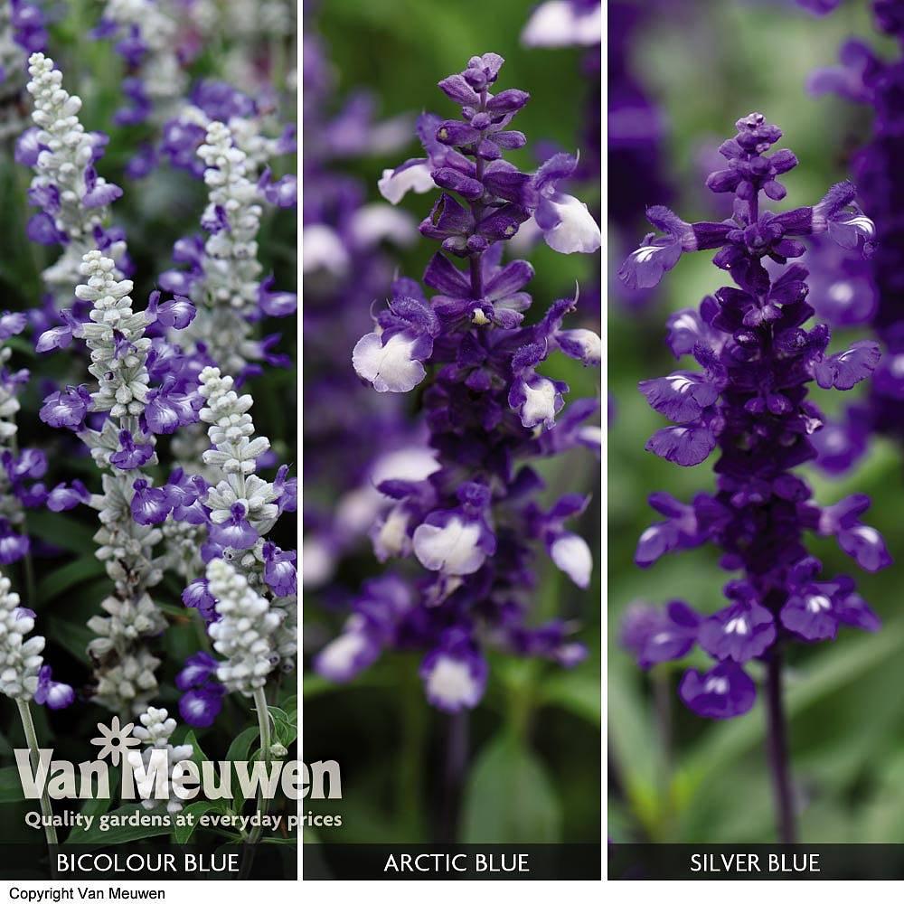 Salvia x Farina collection Van Meuwen
