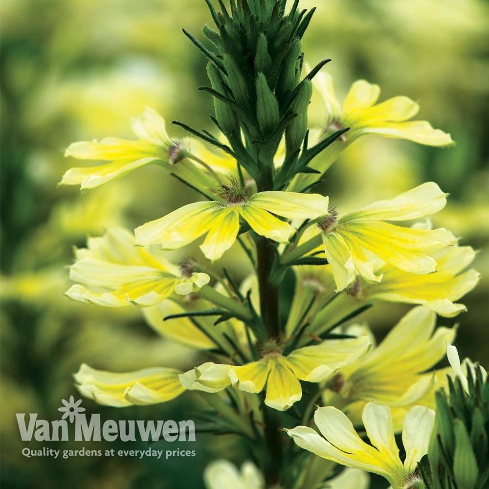 Scaevola 'Suntastic Improved' Van Meuwen
