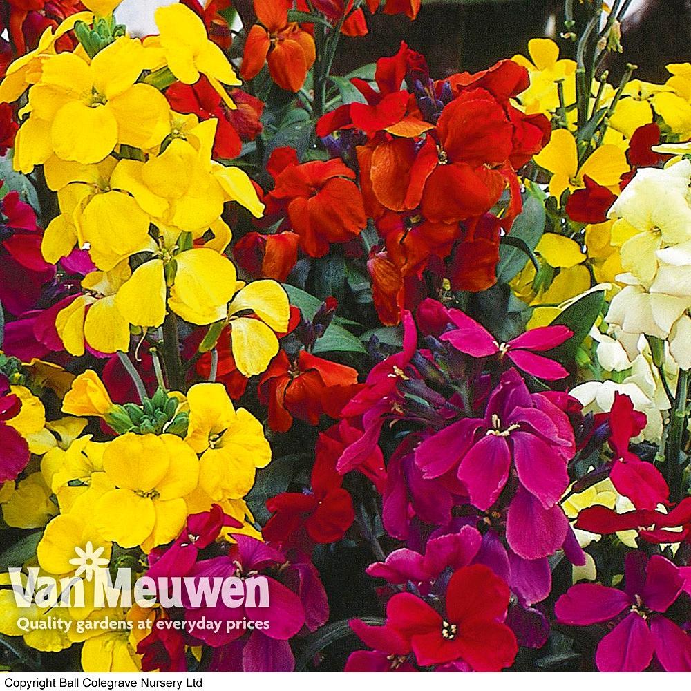 Wallflower 'Super scent Mix' Van Meuwen