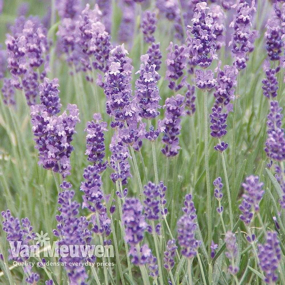Lavender 'Munstead' Van Meuwen
