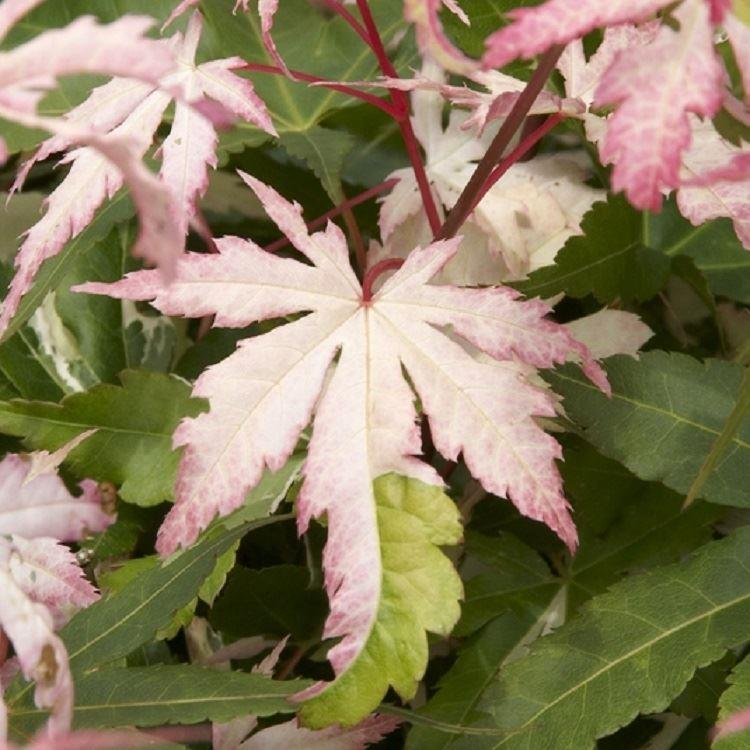 Acer palmatum Asahi-Zuru (Orido-Nishiki) Gardening Express