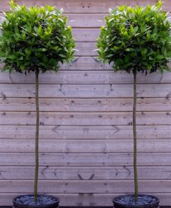 A Pair of Full Standard Bay Trees (Laurus nobilis)