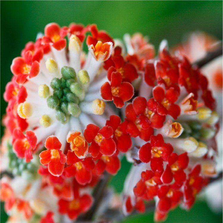 Edgeworthia chrysantha Red Dragon Gardening Express
