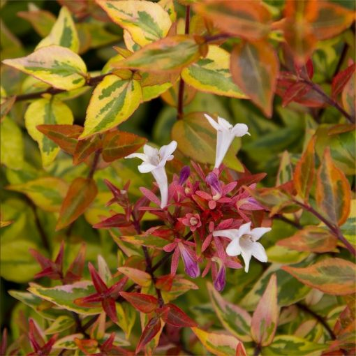 Abelia Kaleidoscope - Multicoloured Evergreen Abelia
