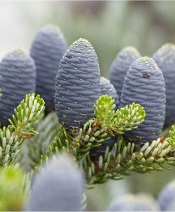 Abies Koreana - Blue Cone Korean Fir