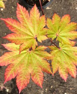 Acer japonicum Vitifolium - Vine leaved Japanese Maple