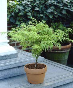 Acer palmatum Dissectum - Filigree Japanese Maple