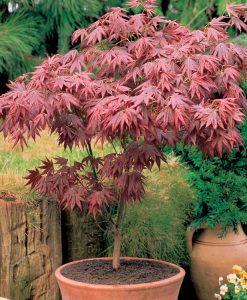 Acer palmatum atropurpureum - Purple Japanese Maple