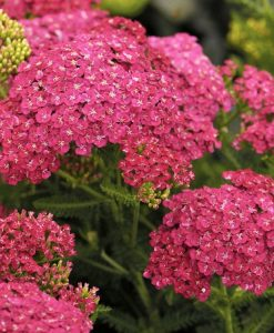 Achillea millefolium Cerise Queen - Yarrow