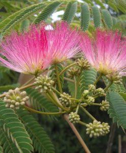 Albizia julibrissin Rosea - Silk Tree Albizzia Tree