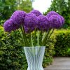 Allium Globemaster - Giant Globe Allium - 1 Giant Bulb