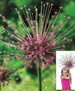 Allium schubertii - Giant Sparkler Firework Allium - Large Bulb