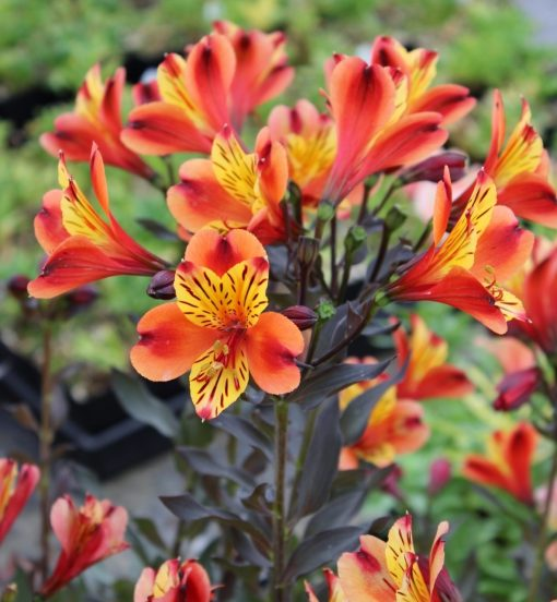 Alstroemeria Indian Summer - Hardy Peruvian Lily