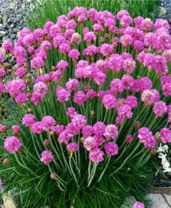 Armeria maritima splendens - Sea Thrift Plants