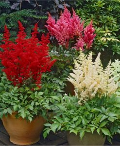 Astilbe Collection - Pack of THREE Plants