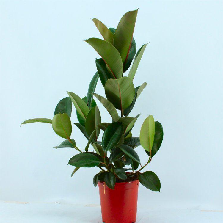 Ficus elastica Robusta - Rubber Plant  circa 70-80cms Gardening Express