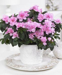 Beautiful Azalea in Classic White Pot bursting in to bloom