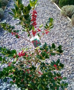 Beautiful Ilex J C Van Tol Holly Tree Covered in Berry - Large Bushy Specimen - Self-Fertile Female English Holly