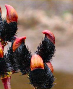 Black Pussy Willow - Salix gracilistyla melanostachys 'Kurome'