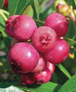 Blueberry Pink Lemonade Plants for the Patio or Garden - Pack of THREE Pink Berry Plants