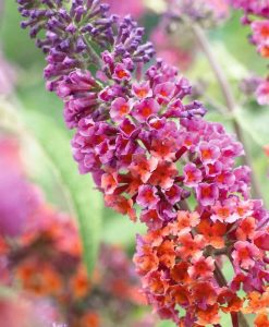 Buddleia Flower Power - Amazing Bicolour Flowered Butterfly Bush