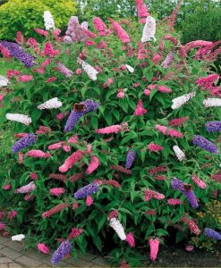 Buddleia Tricolour - Amazing Multicoloured Patio Carnival Butterfly Bush