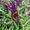 Buddleia davidii Butterfly Tower - Straight Up Buddleja