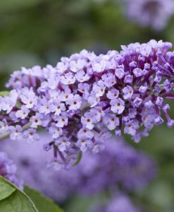 Buddleja Flutterby Flow - Lavender Flow Butterfly Bush Buddleja