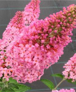 Buddleja davidii Pink Panther - Buddleia - Butterfly Bush