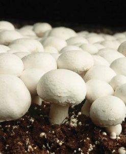 Button Mushroom Grow Kit - Produce your own Tasty Crops at Home