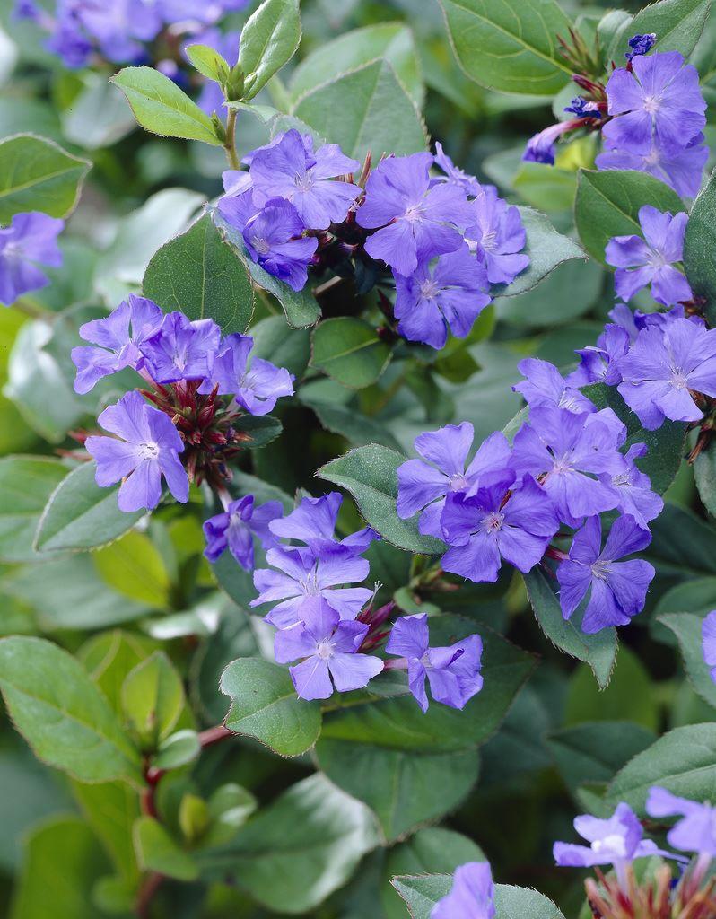 Ceratostigma plumbaginoides - Hardy Plumbago Gardening Express