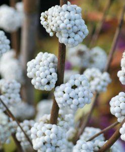 Callicarpa bodinieri Snow Queen - White Beauty Berry