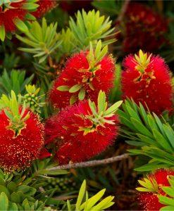 Callistemon citrinus splendens - Red Australian Bottle Brush - LARGE 100-120cms Specimen Plant